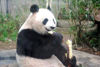 シンシンの近況(1) 上野動物園のジャイアントパンダ情報サイト ...