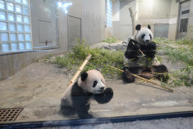 ジャイアントパンダ「シャンシャン」近況[5]150日齢を迎え17回目の身体検査|上野動物園のジャイアントパンダ情報サイト「UENO,PANDA.JP」