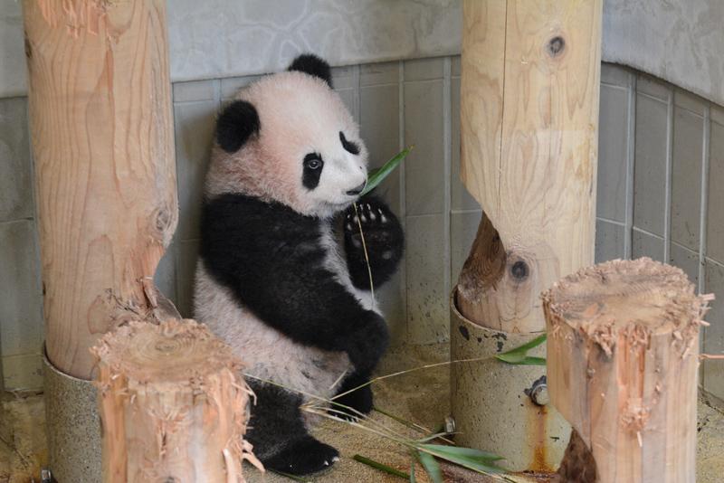 竹をくわえるシャンシャン\u003cbr\u003e(撮影日:2017年11