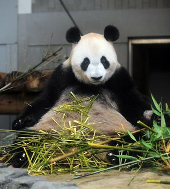 シンシンの近況(4) 上野動物園のジャイアントパンダ情報サイト ...